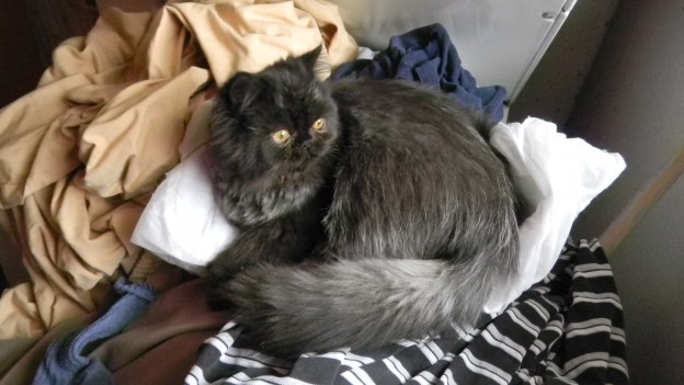 Andy discovers the bliss of perching on fresh laundry. Bad kitty!