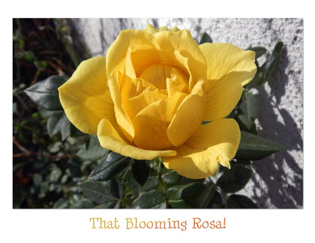 rosa blooming