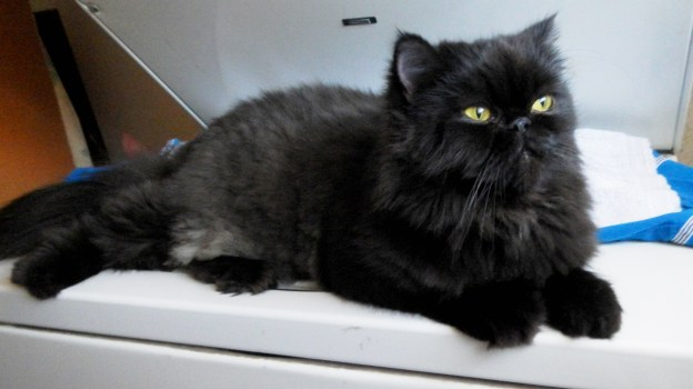 Andy, relaxing on the washer, one of his favorite haunts. That machine was replaced with one that has no kitty perch, but it has a port where you can watch the clothes being tossed and turned. Both Andy and Dougy love that!