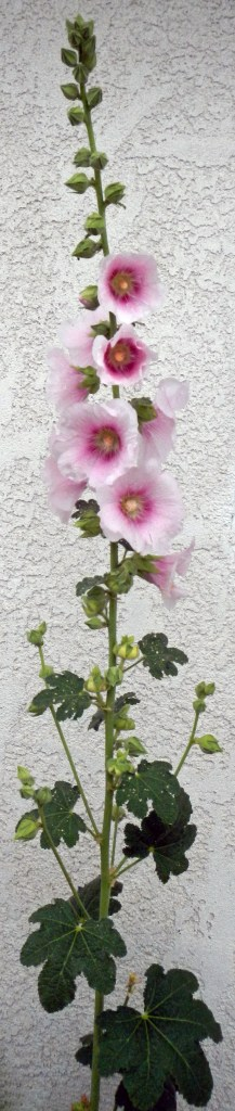 At last! Something vertical in this horizontal world! Hollyhocks in front of my apartment were seeded by birds. Thanks, birds!