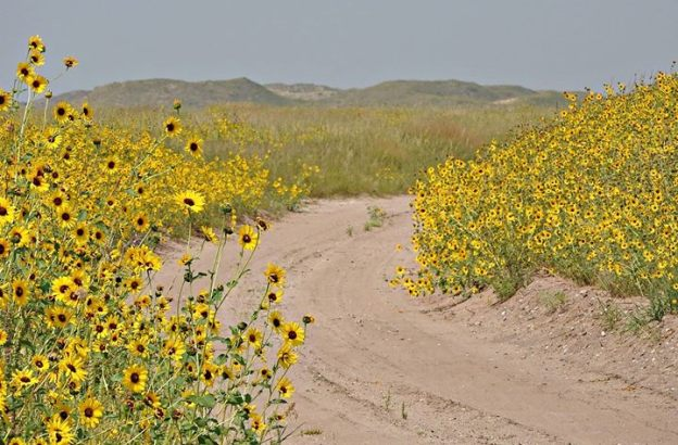 sunflowers in Sandhills