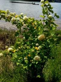 pacific-ninebark-physocarpus-capitatus