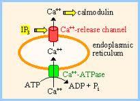 calcium release calmodulin