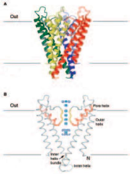 MacKinnon Fig 5.  KcsA K+ channel   pore-helices (red) and selectivity filter (yellow)