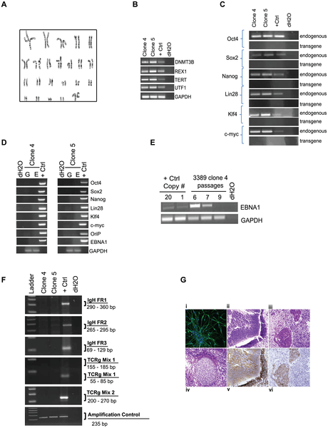 journal.pone.0027956.g004  Figure 4. Characterization of iPSCs derived from CD34+ blood cells.