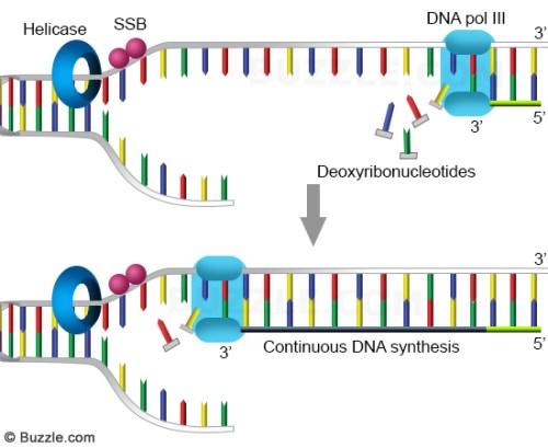dna-replication-leading-strand