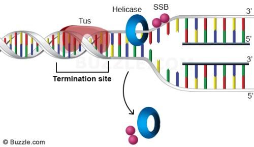 dna-replication-termination