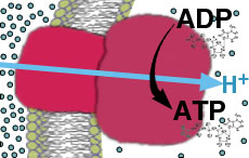 . Synthesis of ATP Using Free Energy Released From Spontaneous Diffusion of H+