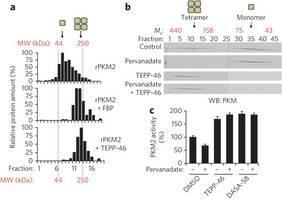 Activators promotePKM2tetramer formation and prevent inhibition byphosphotyrosinesignaling.