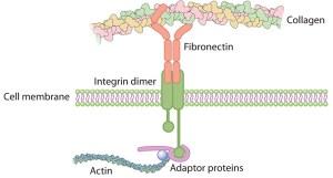 Fibronectin Integrin