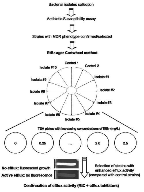 Flowchart followed to test bacterial strains using the EtBr-agar Cartwheel method.