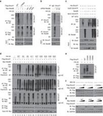 Neddylation of Smurf1 activates its ubiquitin ligase activity.