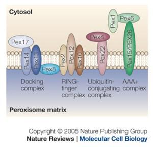 peroxisomal protein pore model