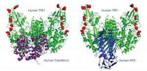 TfR1 can carry on binding transferrin and HFE while dodging viruses