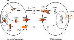 Cross-talk between monocyte.macrophage cells and T.NK lymphocytes