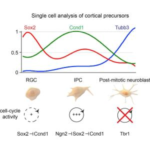 reduction of Sox2 expression