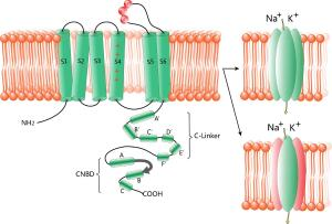 Structure of HCN channels