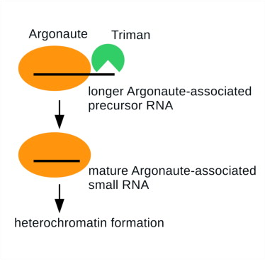 Argonaute recruits Triman to generate Dicer-independent priRNAs and mature siRNAs