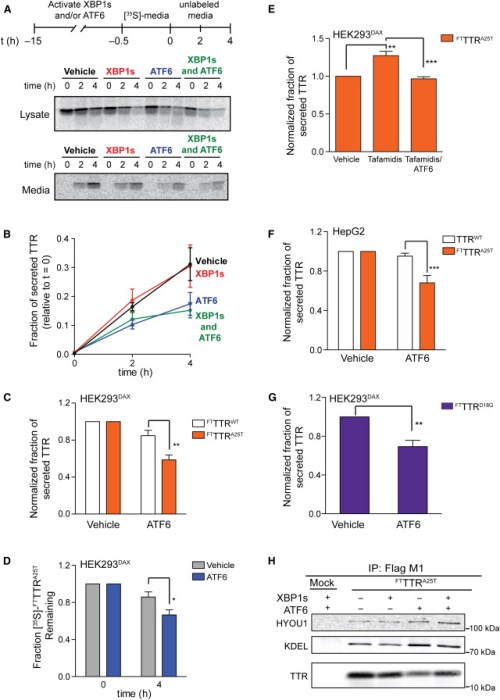 atf6-activation-selectively-attenuates-the-secretion-of-amyloidogenic-ttr1