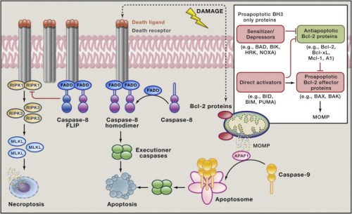 cell-death-pathways-engaged-by-cellular-damage