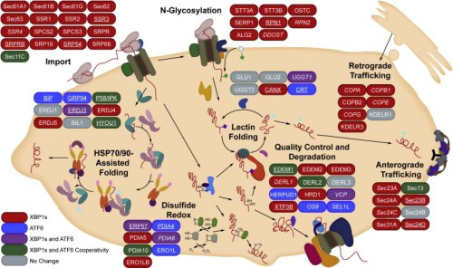 impact-of-activating-xbp1s-atf6-or-both-xbp1s-and-atf6-on-the-composition-of-er-proteostasis-pathways