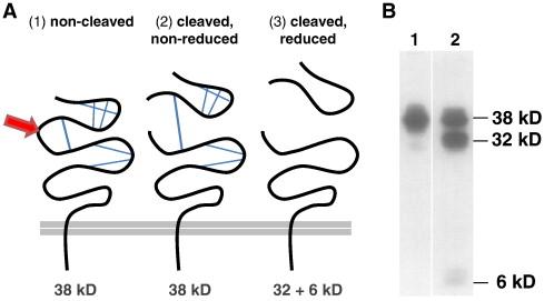 N-terminal cleavage of EpCAM.