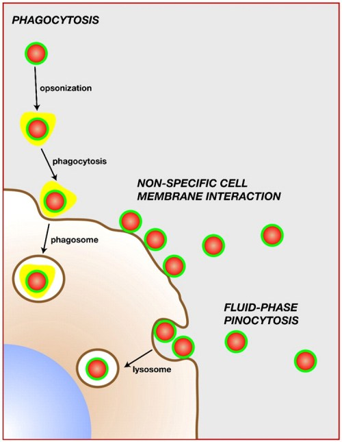 QD interactions with blood immune cells and plasma proteins  nihms62165f4