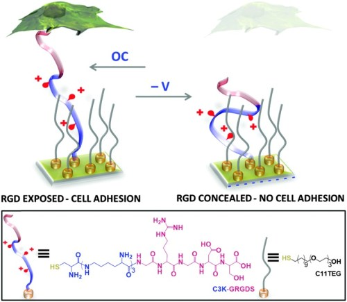 rdg-oligopeptide-sam-utilised-for-controlling-specific-cellular-interactions-c4cc06649a