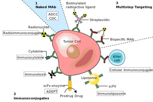 525px-Monoclonal_antibodies.svg