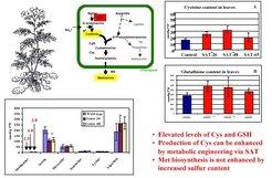 Serine acetyltransferase