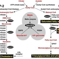 Hormonal Acne Diagram Bt Telephone Socket Wiring Summary Of Lipid Metabolism Leaders In Pharmaceutical