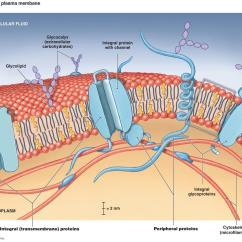 Cell Membrane Diagram 1995 Dodge Ram 1500 Ignition Wiring Glycocalyx 145e1f0c801699f8cfe Leaders In Pharmaceutical