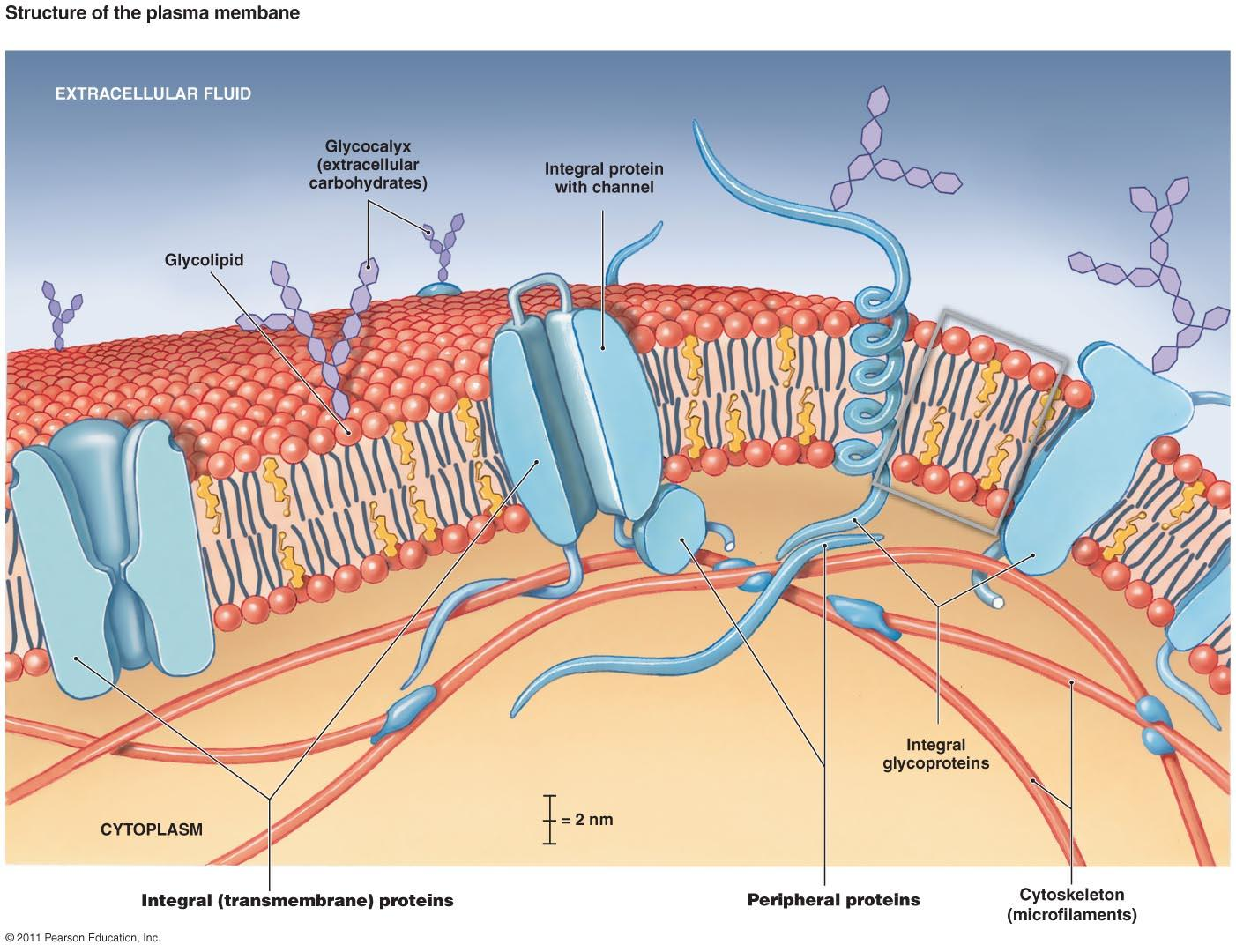 cell membrane diagram cat5e wiring wall jack glycocalyx 145e1f0c801699f8cfe leaders in pharmaceutical