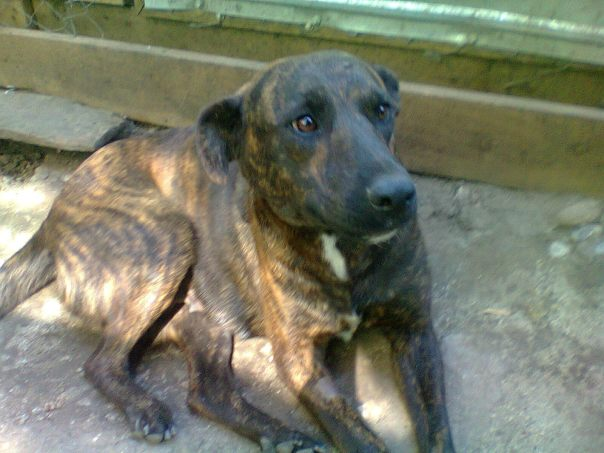 Indy - a gentle giant.  Indy is a large lady around 3 years old with a lovely character - a total sweety