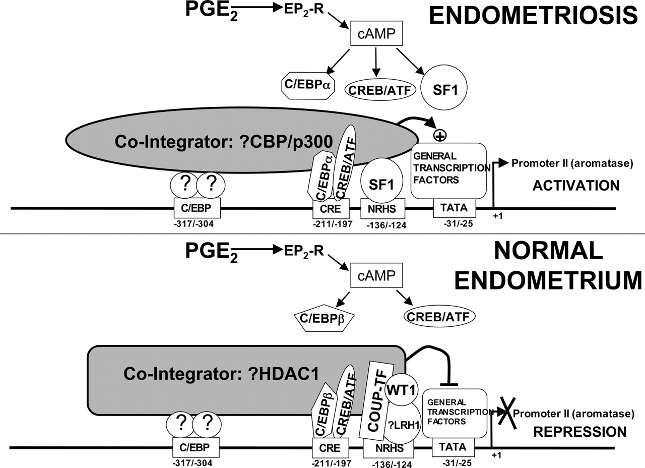 Regulation Of Aromatase Expression In Estrogen Responsive