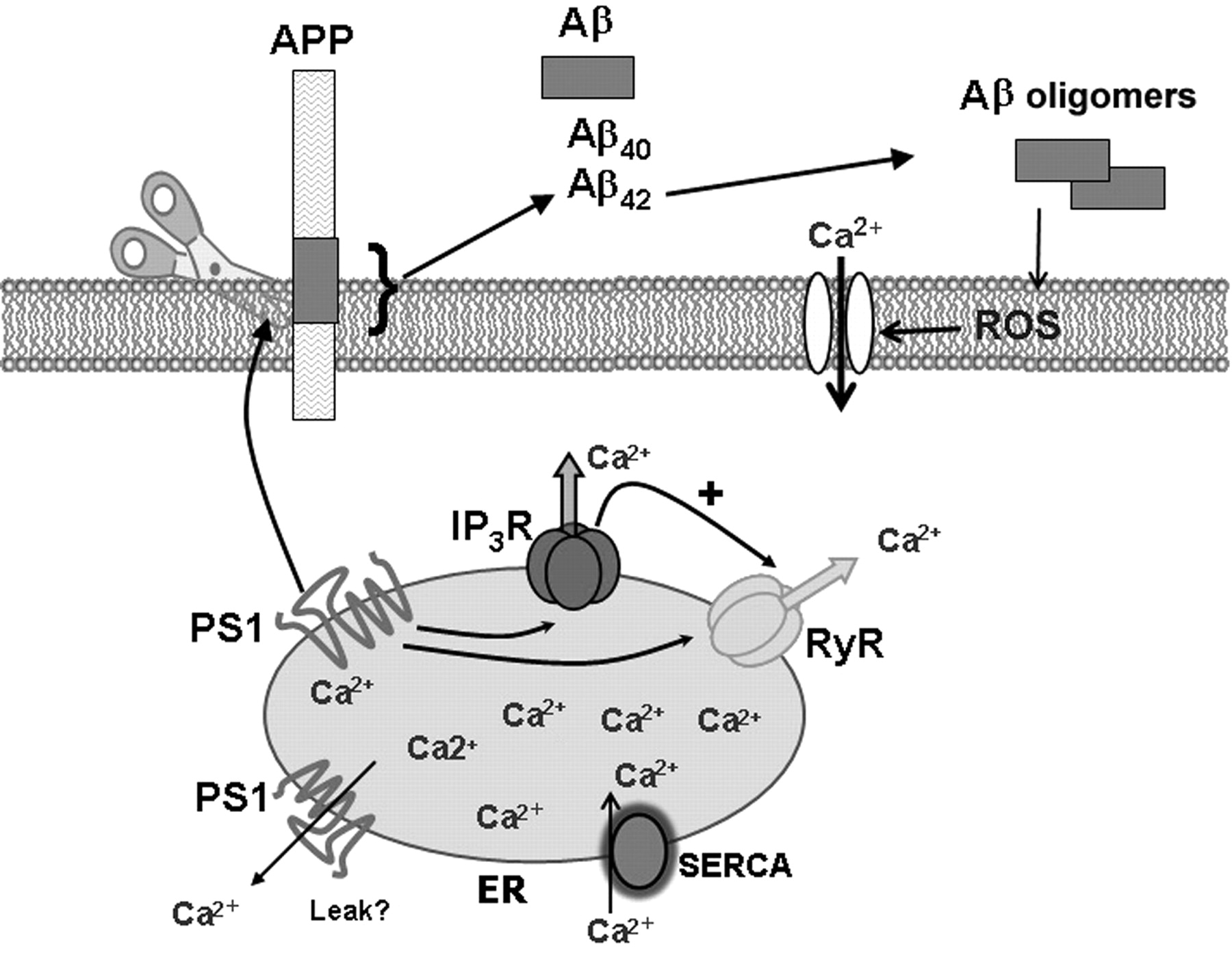 Endoplasmic Reticulum Ca2 Handling In Excitable Cells In