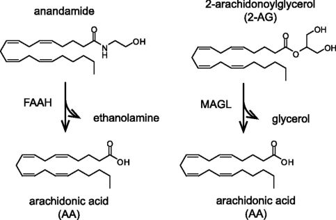 MAGL impact on 2-AG and anandamide and arachidonic acid