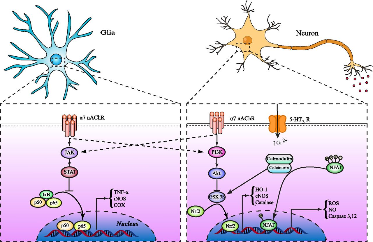 5-HT3 Receptor Antagonists in Neurologic and ...