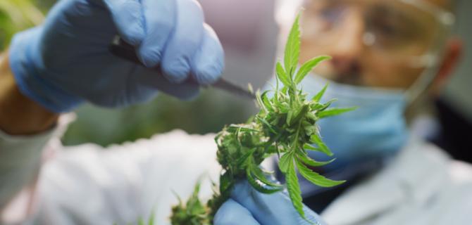 Cannabis, Scientist