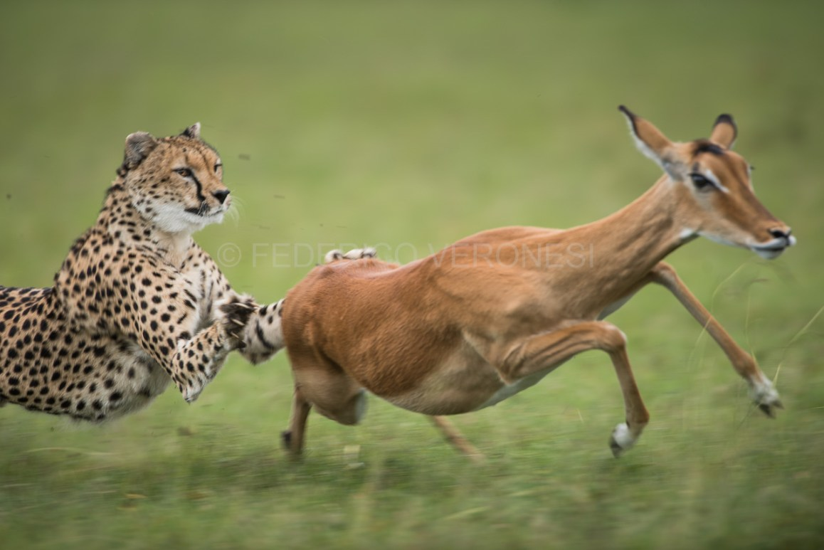 Cheetah_hunting_impala-photo-safari_Masai_Mara_3285.jpg