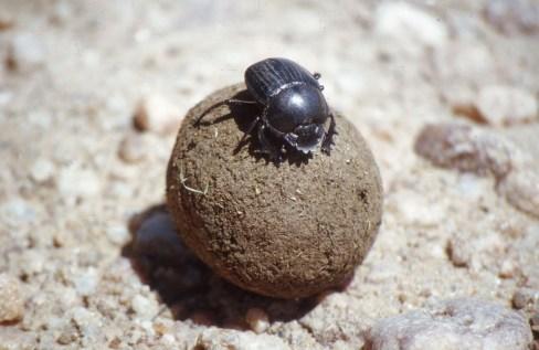 beetle.Namib.desert