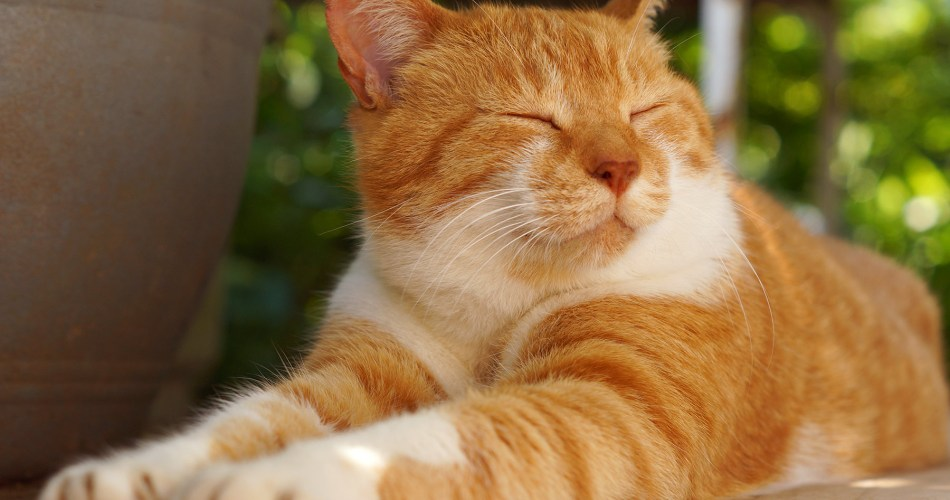 Best 8 Home Remedies For Cats Urinary Tract Infection