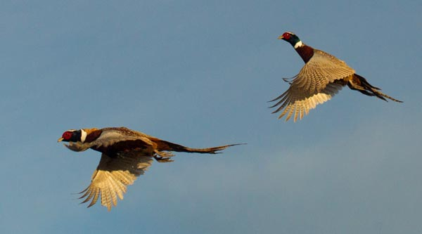 Two pheasant roosters flying