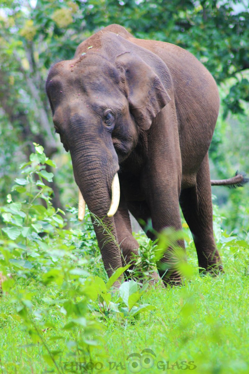6,writetribe,festival of words,nature,lone,tusker,male,elephant,praveen,throo da looking glass,through the looking glass,bangalore blog,,bandipur