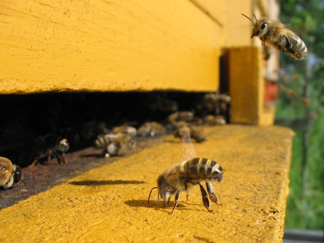 disappearing bees colony collapse syndrome