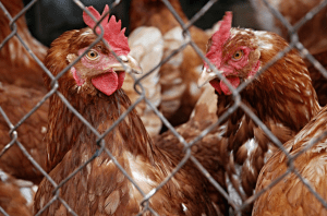 Chlorinated Pesticides from Poultry Fat
