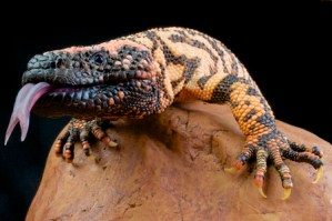Gila Monster Saliva Could Save Lives: A Simplified Purification of Exenatide Peptide
