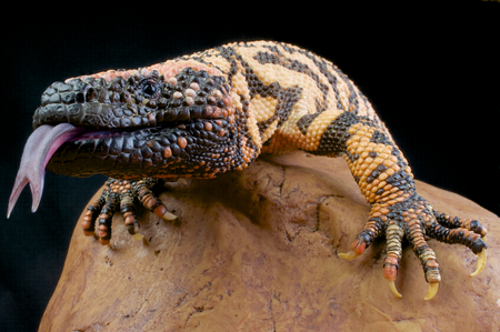 Is Gila Monster's Saliva poisonous