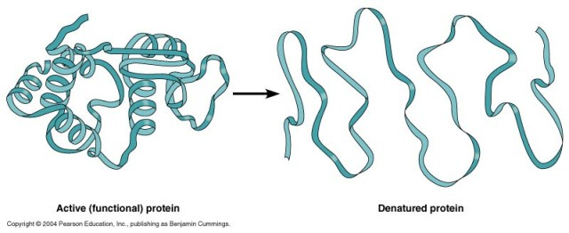 active functional protein vs denatured protein