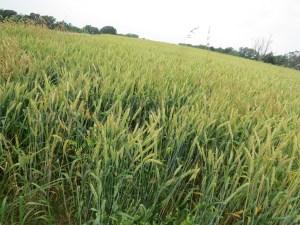 Wheat or barley field.